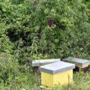 Rojenje pčela, prirodan način povećanja zajednice – roj oko matice stvara novo pčelinje društvo